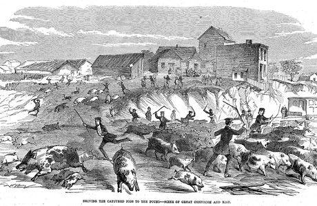 Driving captured pigs to the pound in antebellum Manhattan.