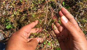 Cheryl Shippentower cups wild huckleberries in her hands. The plant is just starting to unfurl its leaf buds. Tribal managers and Shippentower hope that by disturbing the land a bit with thinning and fire--they will bring back more traditional foods like the huckleberry.