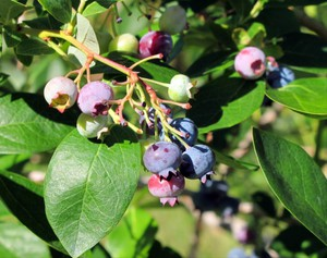 Extended periods of high heat can damage wine grapes, blueberries and raspberries.