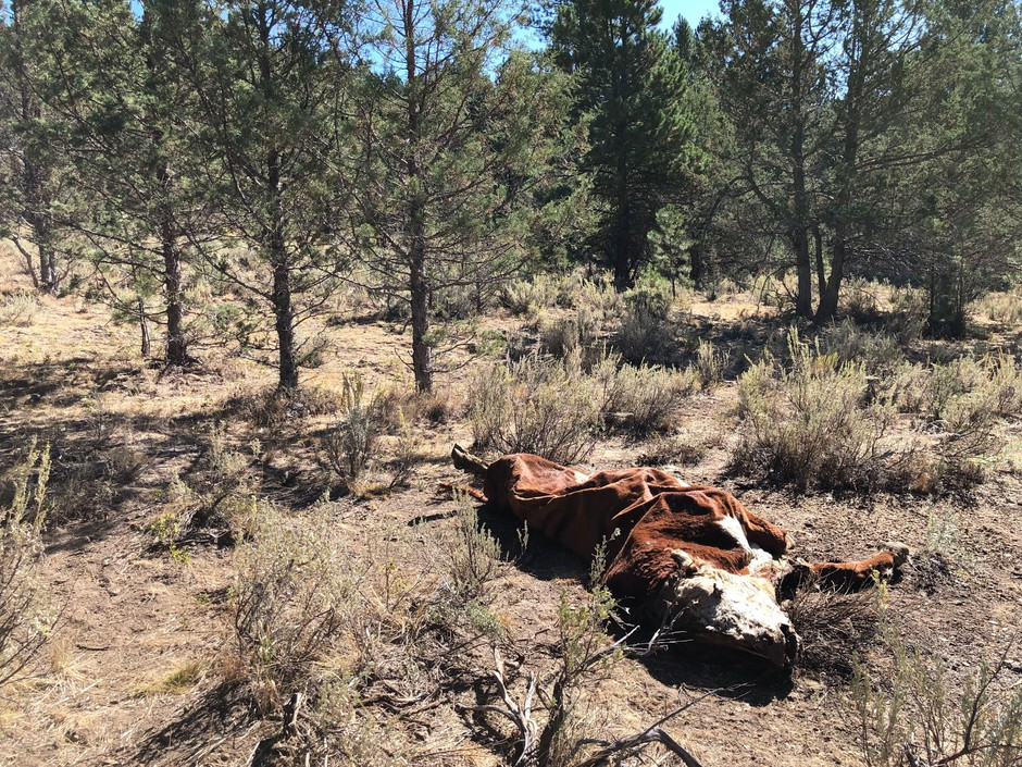The crumpled carcass of a once vibrant bull lays on Forest Service ground. It was killed along with several others in a strange way at Silvies Valley Ranch in east Oregon, and detectives have few leads.
