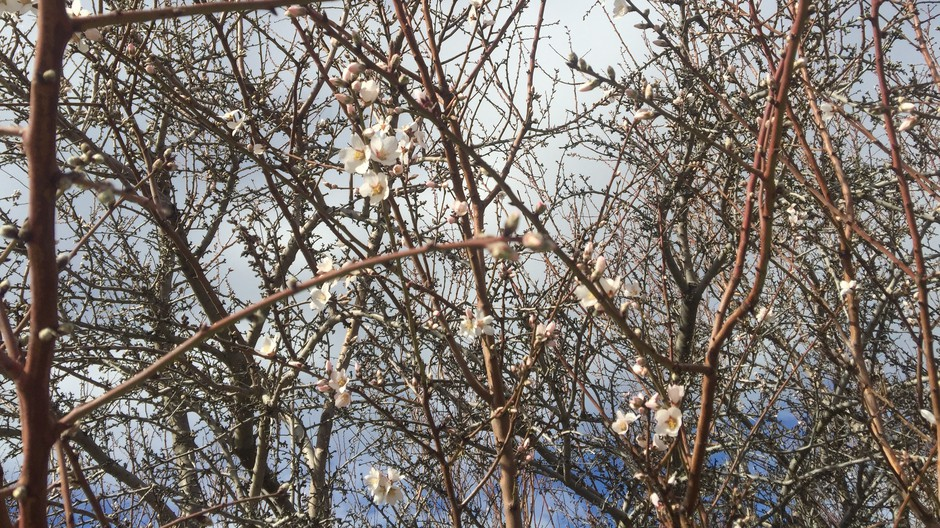 A matrix of almond branches show off delicate early blooms near Lost Hills, Calif. Almonds have grown from 765,000 acres to 1.33 million acres in the last decade.