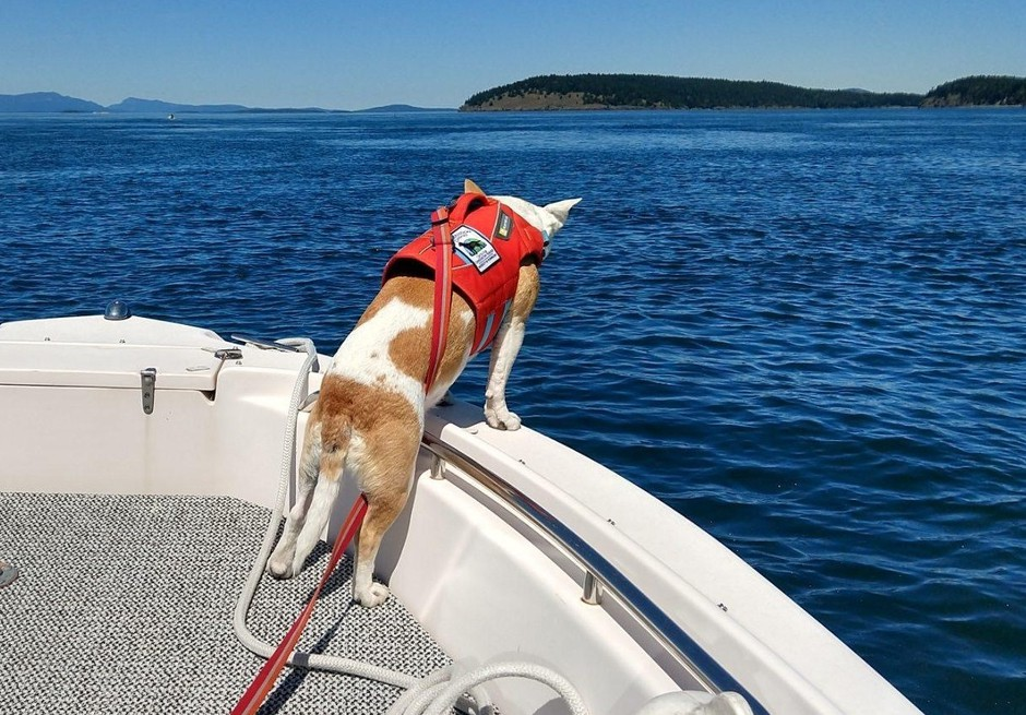 Eba, the whale dog, at work in Haro Strait on May 8.