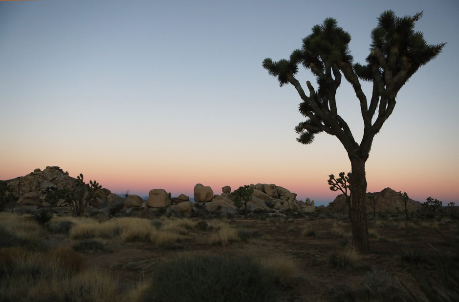 A Joshua tree stands at Joshua Tree National Park on Friday, where campgrounds and some roads have been closed.