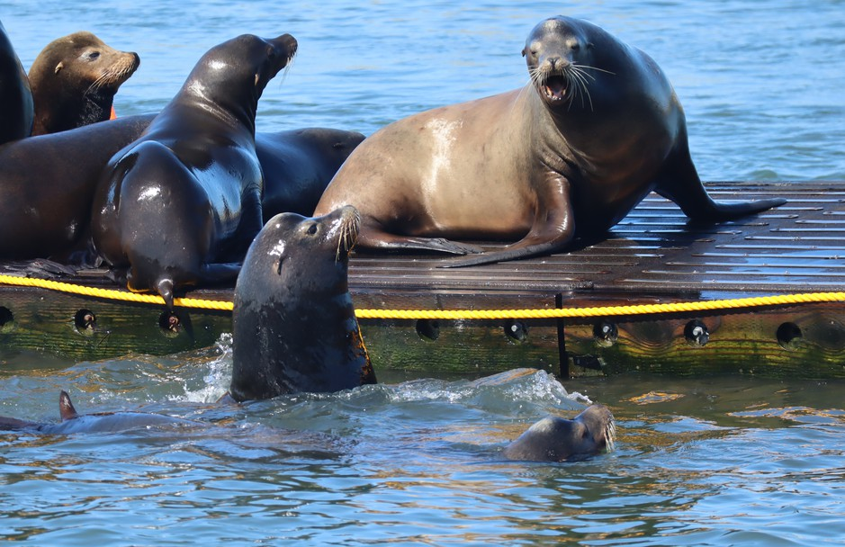 At times, the California sea lions that hang out at the Westport Marina display aggressive behavior.