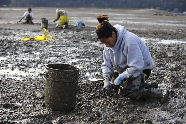 A worker digs up clams at a commercial shellfish bed on Puget Sound.