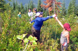 Tulalip teens are working to clear brush from a huckleberry field not far from the Skykomish River.