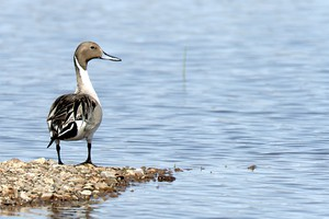 A Northern Pintail looks for food at Malheur Lake on the Malheur National Wildlife Refuge. The 41-day occupation curtailed efforts to control the invasive common carp and allowed the fish population to boom. Now, biologists are working to come up with a plan to make up for lost time and reverse the negative impacts of the fish.