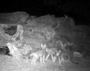 Trail camera footage from the Confederated Tribes of Warm Springs shows six wolf pups.