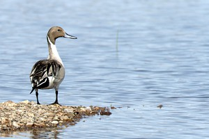 A Northern Pintail looks for food at Malheur Lake on the Malheur National Wildlife Refuge.