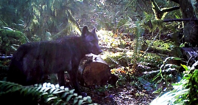 A trail camera captures one of the Diobsud Creek wolf pack. The two wolves are the first pack in Western Washington in decades.