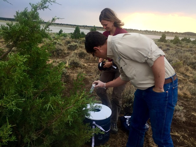 Lee Foster, with the Oregon Department of Fish and Wildlife, places a mosquito lure inside a trap. Mosquitoes can transmit West Nile virus to sage grouse, with deadly consequences.