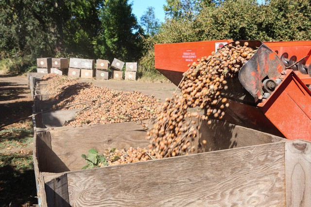 Hazelnuts (or filberts to Oregonians) are harvested at Thistledown Farms in Eugene, Oregon.