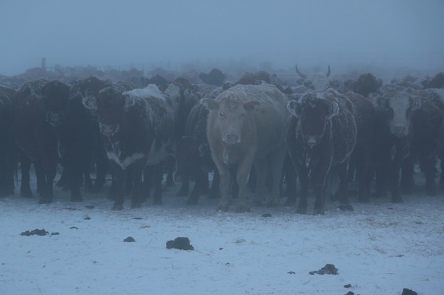 Cattle at Malheur National Wildlife Refuge wait out the fog of a cold, winter morning January 11, 2016. The refuge is closed due to a takeover by opposition claiming ranchers are losing their rights to the land.