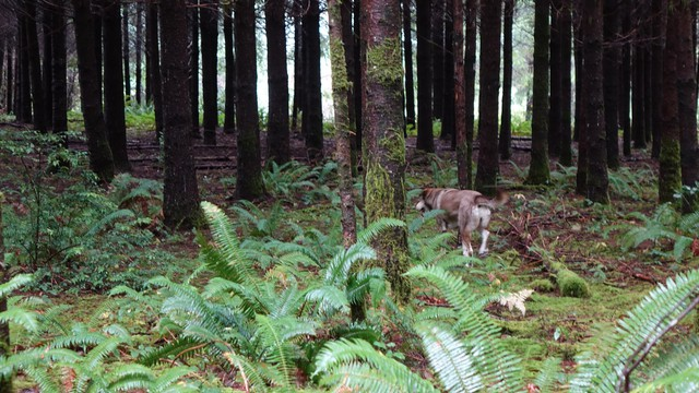 Molly explores a stand of trees on Cilde Grover's tree farm in Brookings, Oregon.