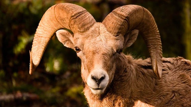 Wildlife managers are euthanizing bighorn sheep in central Washington, where a herd has been infected with a disease that causes pneumonia.