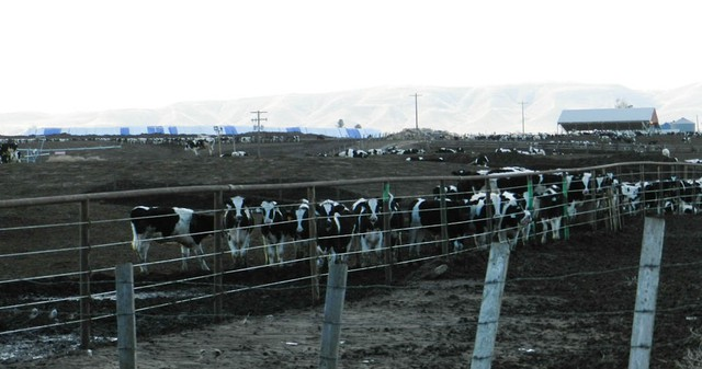 A dairy in the Yakima Valley. EPA researchers drew their conclusions based five dairies in the Lower Yakima Valley.