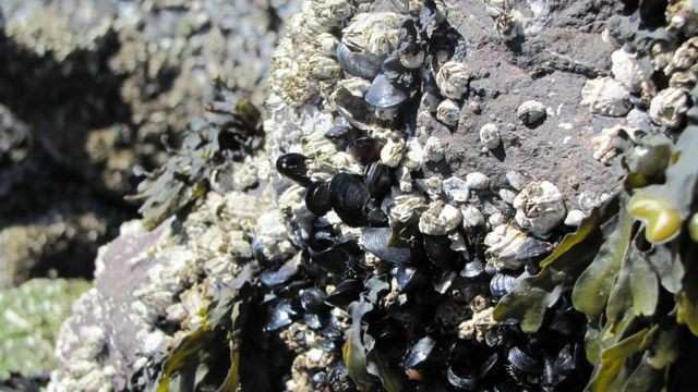 Mussels are indiscriminate feeders and are often the first indicators of contamination by toxic algae that cause Diarrhetic Shellfish Poisoning.