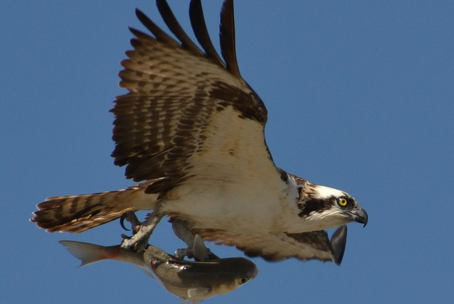 An osprey soars with a fish in its talons. Research by the U.S. Geological Survey says osprey are among the species harmed by contaminants in the lower Columbia River.