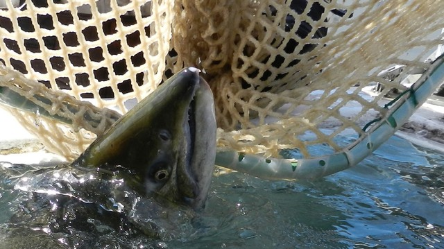 A court Monday upheld the federal government's restriction on three pesticides to protect salmon like this Tule chinook.