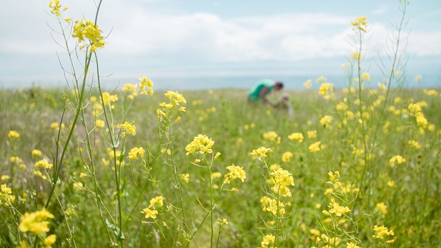 With its native host plant under threat by sea level rise, the island marble is relying on non-native plants to survive. Amy Lambert has been planting field mustard in the prairies of American Camp and monitoring survival rates for eggs and caterpillars.