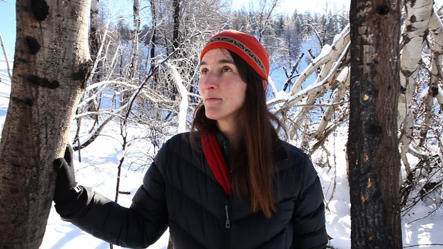 Susan Prichard, a fire ecologist for the University of Washington, looks for signs of recovery in the aspen trees.