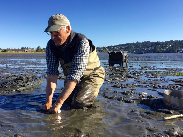 John Chapman uses a clam gun to suck mud shrimp out of their burrows in Newport's Yaquina Bay.