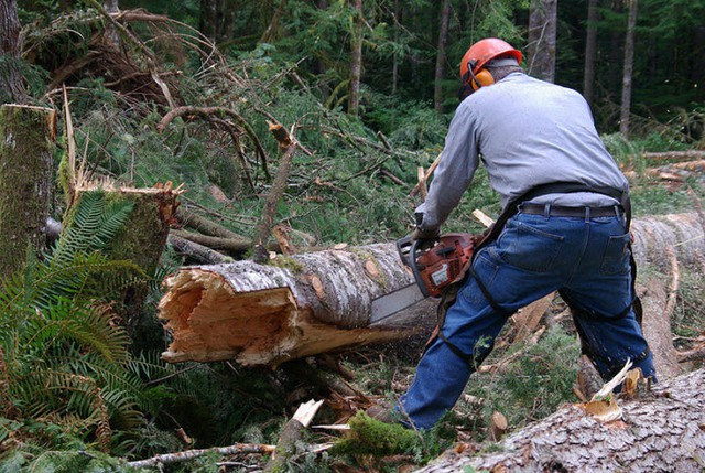 A logger cuts a tree that had broken off.