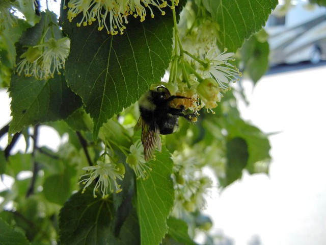 Thousands of dead bumblebees were found in a Wilsonville Target parking lot, where 55 linden trees were reportedly sprayed with insecticide while they were in bloom.