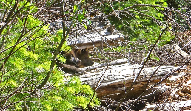 The U.S. Fish and Wildlife Service announced Wednesday that biologists went to a site on the Rogue River-Siskiyou National Forest east of Medford on Monday where photos and a GPS tracking collar showed the wolf known as OR-7 has been living with a mate. They saw two pups and may have heard more.