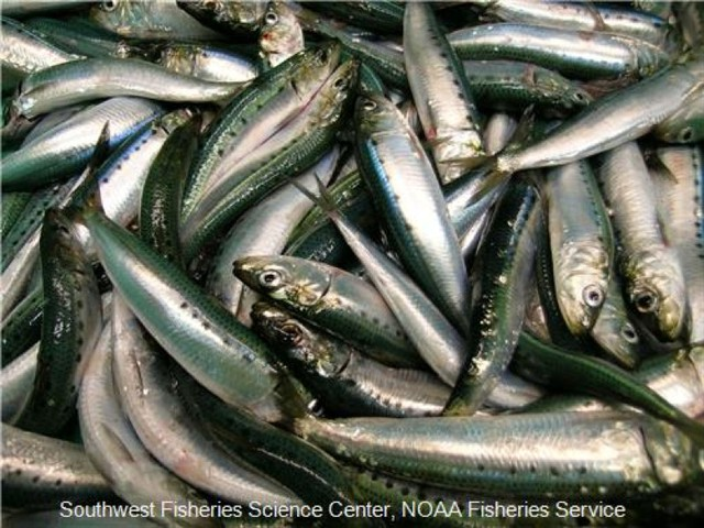 A sardine boom that peaked in 2007 has apparently gone bust. The population is so low this year, managers may not be able to open a fishery.