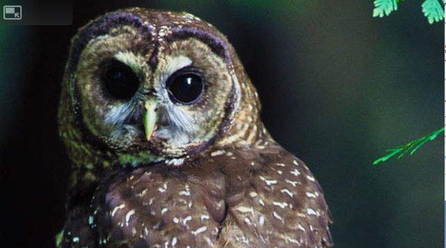 A northern spotted owl. It is listed as threatened under the Endangered Species Act. That's curtailed logging in the Northwest's public old-growth forests, which provide habitat for the elusive bird.