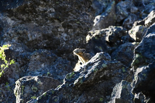Oregon State University - Cascades' HERS Lab is studyingpreviously unknown pika habitats in the Pacific Northwest.