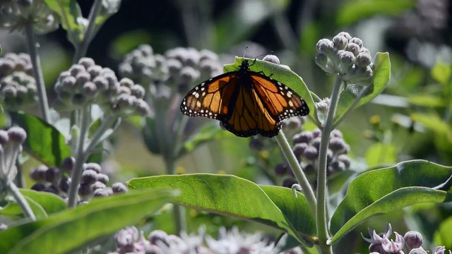 Where Have All Monarchs Gone >> Where Have The West S Monarch Butterflies Gone News Opb