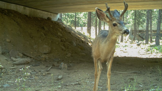 Mule deer uses wildlife crossing.