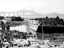 Oyster Harvest, Coos Bay circa 1940