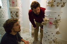 Will Fortini (left) and Ryan Bubriski of the Portland Mushroom Company inspect the oyster mushrooms growing in the basement of their Sellwood-Moreland rental house. The temperature of the 10-foot-by-13-foot room hovers around 62 degrees Fahrenheit, and the relative humidity is kept at nearly 100 percent.