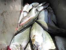 Shad are invasive in the Columbia River, so you can catch as many as you want, as long as you have a fishing license.