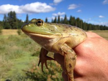 Bullfrogs are not native to the Northwest and frequently drive out native amphibians from their historic habitats.