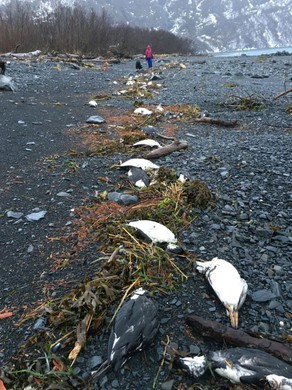On Jan. 1-2, 2016, 6,540 common murre carcasses were found washed ashore near Whitter, Alaska, translating into about 8,000 bodies per mile of shoreline — one of the highest beaching rates recorded during the mass mortality event.