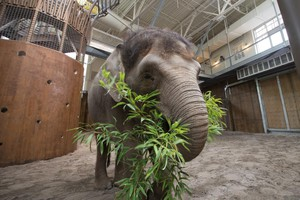 Chendra the Asian elephant is pregnant and expected to give birth in late 2020.
