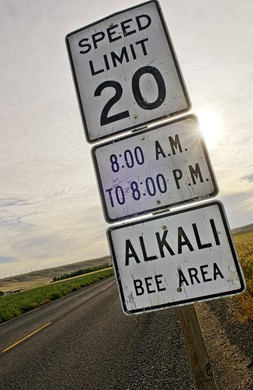 During the alkali bee season in June, speed limits are lowered on country roads around Walla Walla County.
