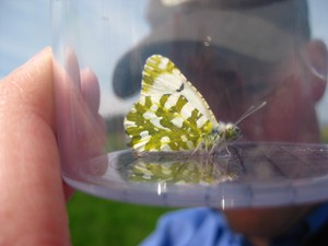 The island marble butterfly is one of the rarest butterflies in North America. The federal government wants to add it to the Endangered Species List.