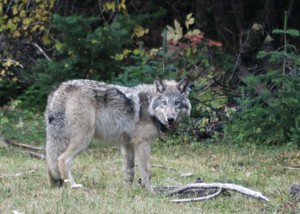 OR-10, a female pup from the Walla Walla pack is pictured in this file photo.