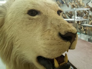 A lion head confiscated by wildlife enforcement officers. Under Oregon's Measure 100 the buying and selling of such items would be banned by state law.