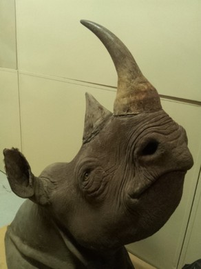 A rhino head confiscated by wildlife enforcement officers. Under Oregon's Measure 100 the buying and selling of such items would be banned by state law.