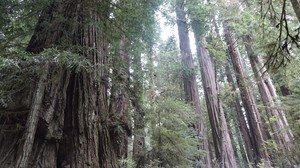 Redwoods in northern California. Hollows in these trees could become nesting sites for reintroduced California condors.