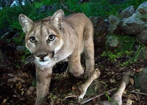 Cougar sightings have increased on the Oregon Coast.