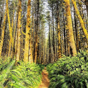 The state and local counties share the revenue from logging on the 364,000-acre Tillamook State Forest.