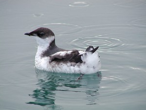 Marbled murrelets are seabirds that nest in older forests along the West Coast.