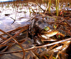 An Oregon spotted frog. A federal judge has halted cattle grazing in the Fremont-Winema National Forest over concerns of impact to the Oregon spotted frog.